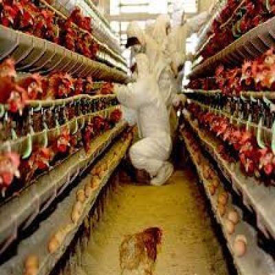 अब मुर्गियां फैलाएगी कोरोना से भी खतरनाक वायरस, जल्द दुनिया में आएगी नई तबाही!