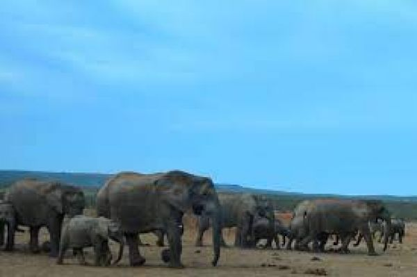 ज्यादा शिकार की वजह से अब बिना बड़े दातों के पैदा हो रहे हैं हाथी- शोध