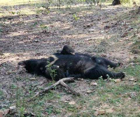 जंगल किनारे भालू मृत मिला, जांच