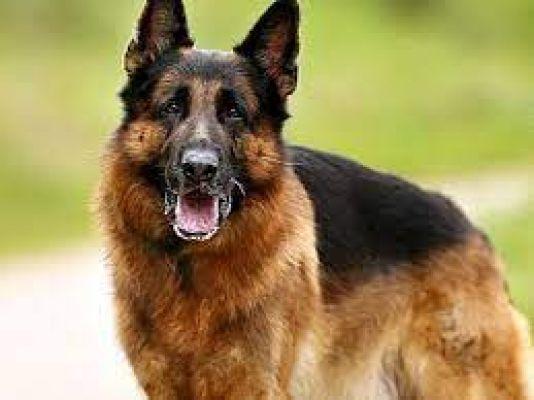 बुलंदशहर: घर में घुसकर जर्मन शेफर्ड नस्ल के कुत्ते की लूट, पिस्टल लहराते फरार हुए बदमाश