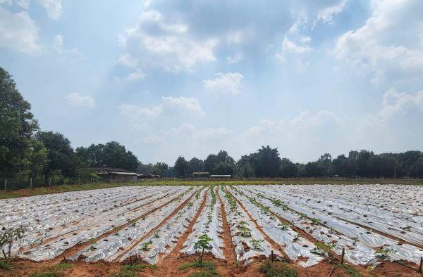 गोठानों में अब मल्चिंग विधि से सब्जी की खेती शुरू