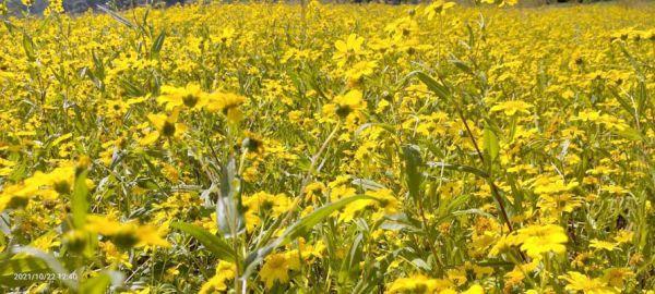 पहाड़ों से लगे खेतों में रामतिला के फूल कर रहे आकर्षित