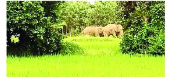 धान फसल पककर तैयार, हाथियों की मौजूदगी से दहशत